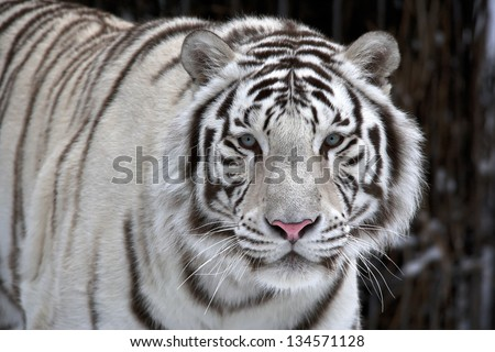 Glance of a passing by white bengal tiger - stock photo