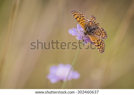 Glanville fritillary butterfly eating nectar from the flower of Scabiosa columbaria, side view. Flora and fauna are well presented here.