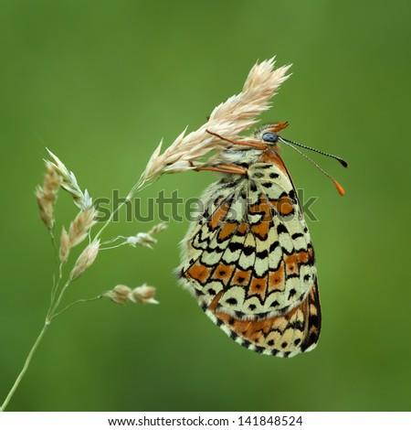 Glanville Fritillary butterfly (Melitaea cinxia) - stock photo