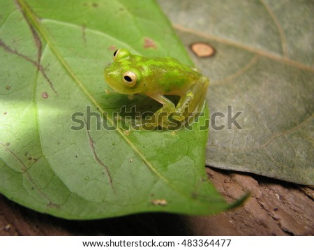 Glass treefrog