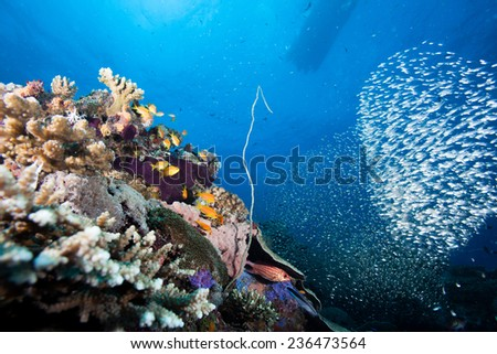 Glassfish (ambassis) swimming around a croal and sponge covered bommie in a beautiful aquarium like coral sea landscape in the Indian Ocean, Zanzibar - stock photo