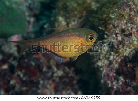 Glassy Sweeper-Pempheris schomburgki, picture taken in shallow water in south east Florida. - stock photo