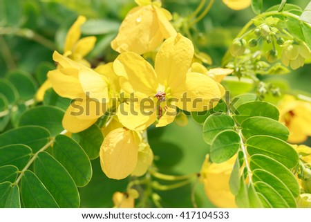 Glaucous Cassia flower, Indian senna is yellow flower