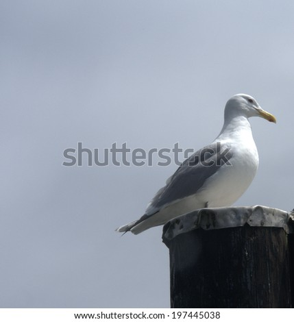 Glaucous-Winged Gulls (larus glaucescens), alone on a wharf support - stock photo
