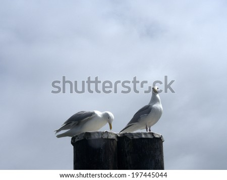 Glaucous-Winged Gulls (larus glaucescens), one staring into the camera, the other appearing to bow - stock photo