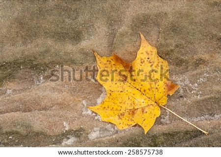Glistening like small diamonds, the loose grains of a sandstone boulder surround an autumn maple leaf as it changes colors from  yellow to brown. - stock photo
