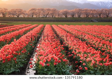 Glitter in the morning sun Tulips and cherry tree, Japan - stock photo
