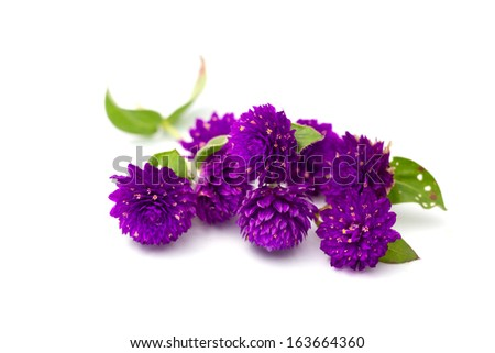 Globe amaranth beauty flower in white background