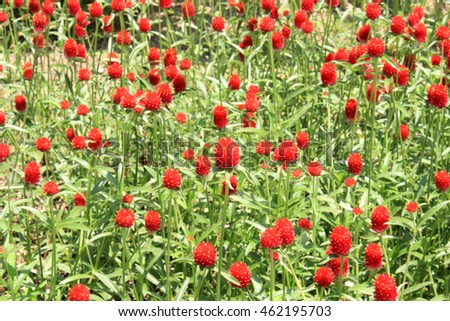 globe amaranth flower field