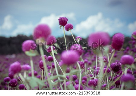 Globe Amaranth flower in vintage tone - stock photo