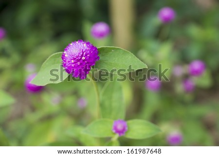 Globe amaranth flowers in the garden