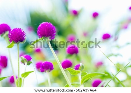 Globe Amaranth or Bachelor Button flower in the garden