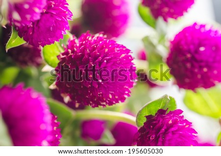 Globe Amaranth or Bachelor Button flower macro close-up shot in nature - stock photo