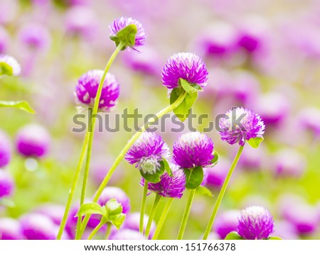 Globe amaranth or Gomphrena globosa close up in a morning.