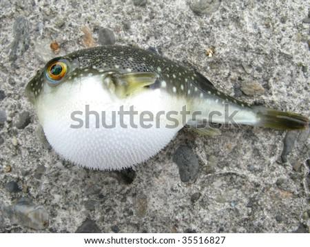 Globefish - stock photo