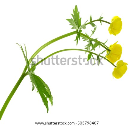 Globeflower, Trollius europaeus isolated on white background