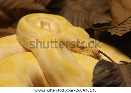 gloden Burmese python - stock photo