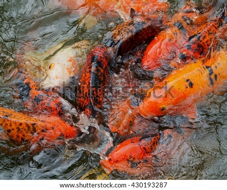 Glorious Fluid Shimmering Koi Carp in Spectacular Exotic  Colorful Display.