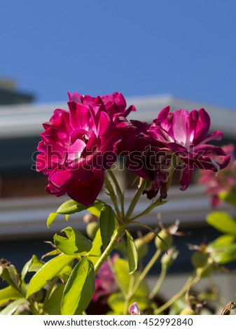 Glorious magnificent romantic beautiful sport of Brilliant Pink Iceberg rose, Burgundy Iceberg roses blooming in winter  add fragrant charm to the garden  with  a florabunda clustering habit .  - stock photo