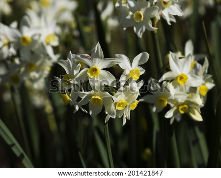 Glorious nodding heads of Narcissus  jonquilla tazetta  common garden Jonquil is a hardy spreading bulb with white petals and yellow cup flowering in mid  winter heralding  the spring season.