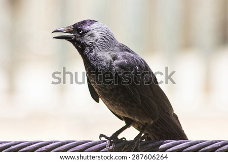 glossy black bird with blue eyes - stock photo