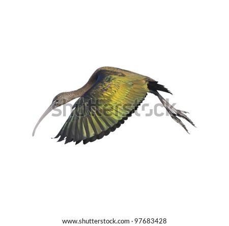 Glossy ibis in flight, isolated on white. Latin name - Plegadis falcinellus. - stock photo