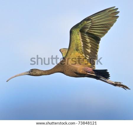 stock-photo-glossy-ibis-in-flight-latin-