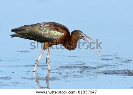 Glossy Ibis (Plegadis falcinellus) foraging for food in blue water. - stock photo