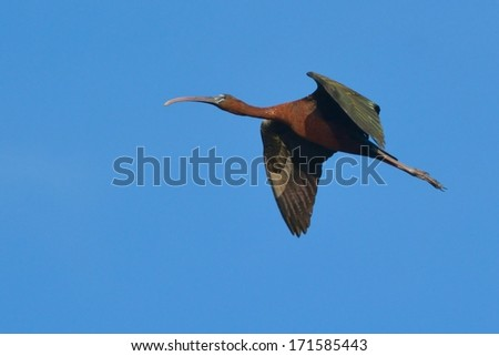 Glossy Ibis (plegadis falcinellus) in flight