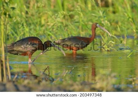 Glossy Ibis (plegadis falcinellus) searching food - stock photo