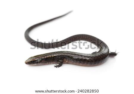 Glossy shade lizard (Iphisa elegans) - stock photo