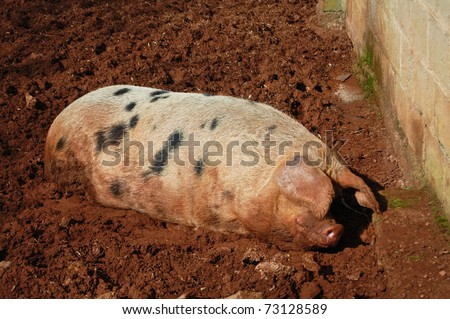 gloucestershire old spot pig lying in mud - stock photo