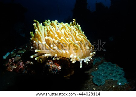 Glowing anemone in the deep of Indian ocean.