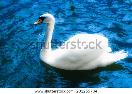 Glowing white swan swims in the blue water of a pond