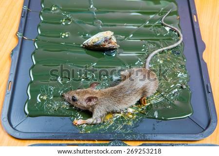 glue mousetrap. - stock photo