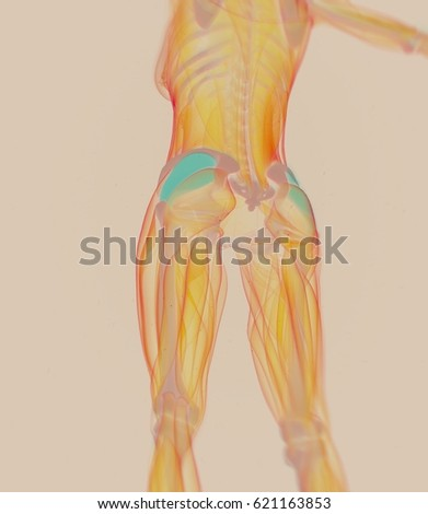 Gluteus Medius Female Muscle Anatomy 3 D Stock Illustration