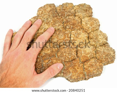 Glyptodon sp. (dermal armour from an extinct car-sized, armadillo-like mammal)  40,000 years old  Collected from Patagonia (Argentina) - stock photo