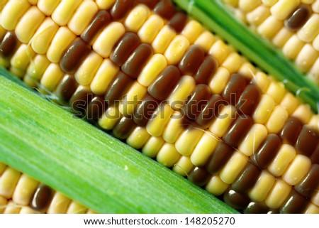 gmo corn - stock photo