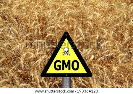 GMO ( GM ) yellow sign with the wheat crop in the background  - stock photo