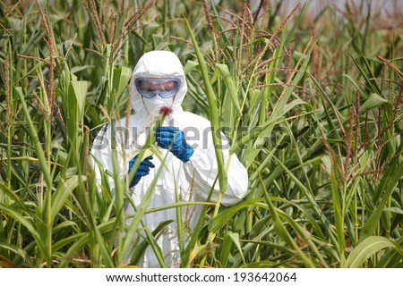 GMO,professional in uniform goggles,mask and gloves examining corn cob on field  - stock photo