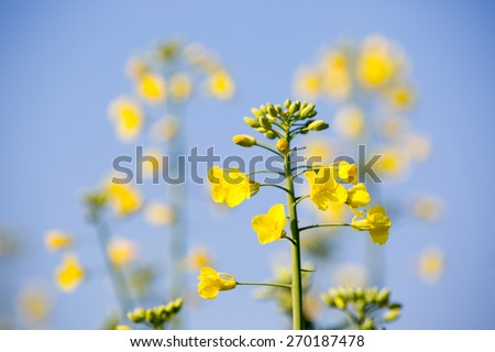 GMO rapeseed plant on a huge field for production of biodiesel, close-up - stock photo