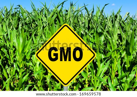 GMO yellow sign with the corn crop in the background - stock photo