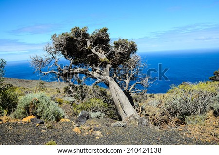 Gnarled Juniper Tree Shaped By The Wind at El Sabinar, Island of El Hierro