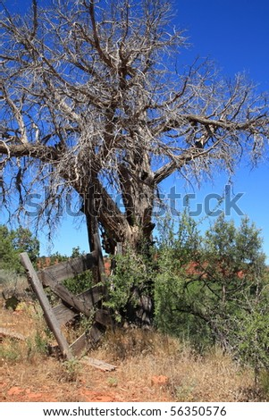 gnarly old tree in the desert
