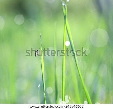 Gnat on a stalk of grass among the solar glare from drops of dew