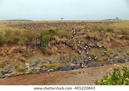 Gnu migration on the Mara river, Maasai Mara, Kenia