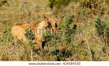 GO - Phacochoerus africanus - The common warthog is a wild member of the pig family found in grassland, savanna, and woodland in sub-Saharan Africa. - stock photo