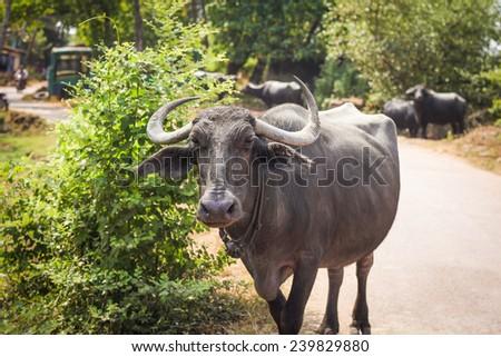 Goan buffalo. Siolim, Goa, India - stock photo