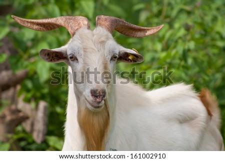 Goat - stock photo