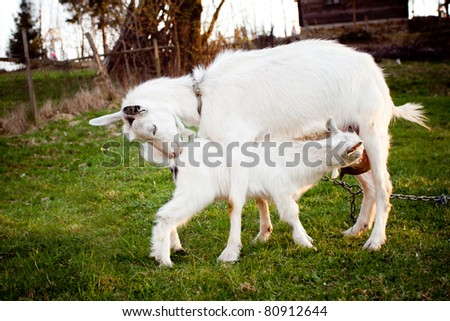 Goat and goatling are suckling the mom on graze